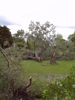The Great Fallen Oak